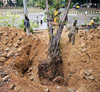 Traditional Pipal Tree Being Transplanted in Punjab, India